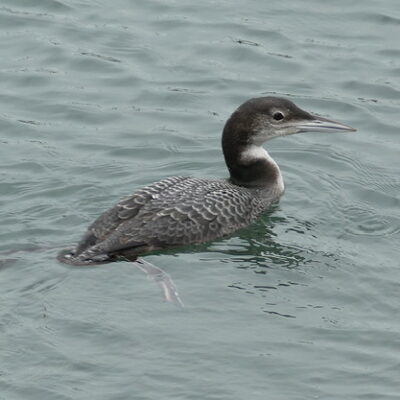 Great Northern Diver first winter Brixham 301219 3 copy