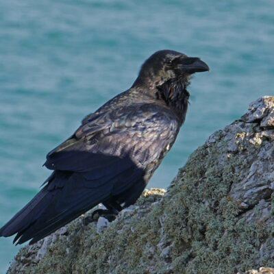 raven250717ML